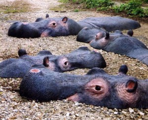 Hippo fin
