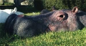 Hippo fin tête